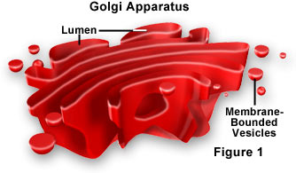 animal cell golgi bodies - photo #12