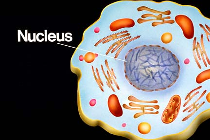 nucleus plant and animal cell